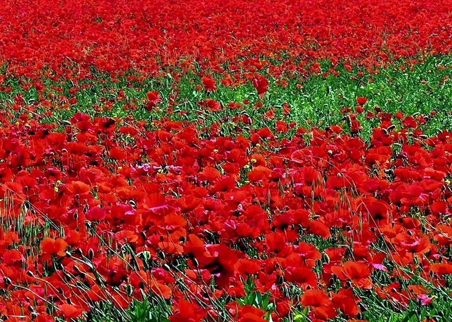 Spain Photograph - Poppy Field by Jacqueline M Lewis