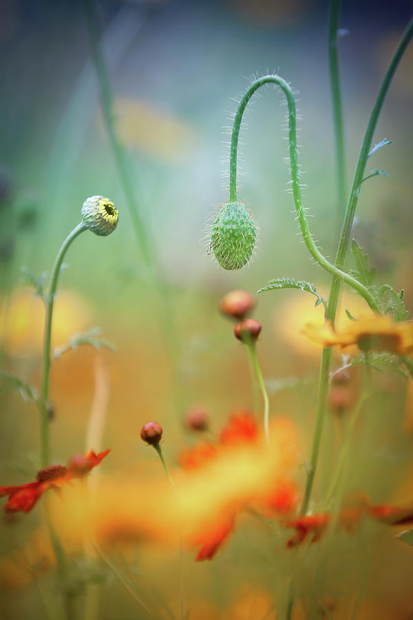 Flowers Photograph - Poppy Field by Steve Moore