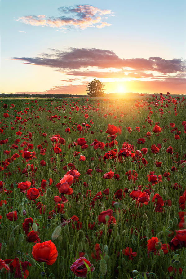 Landscape Photograph - Poppy Fields Of Sweden by Christian Lindsten