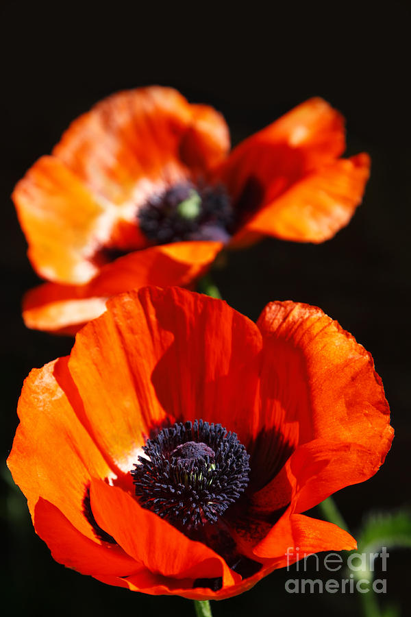Poppy Photograph - Poppy Flower Pair by Lincoln Rogers