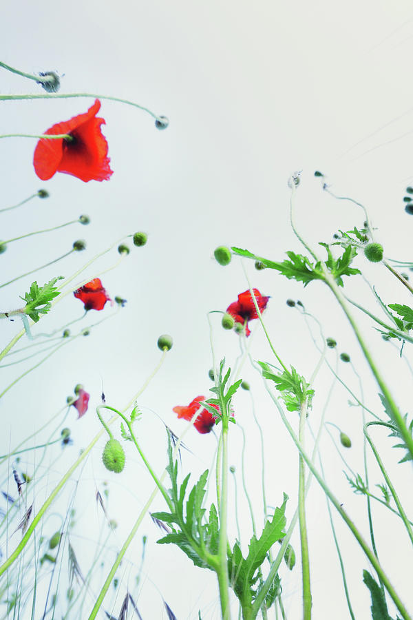 Poppy Flowers Against Blue Sky Photograph by Silvia Otte