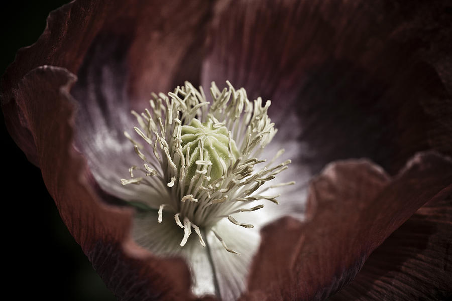 Poppy Photograph - Poppy by Frank Tschakert