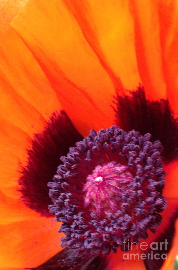 Poppy Photograph - Poppy by Gaby Tench