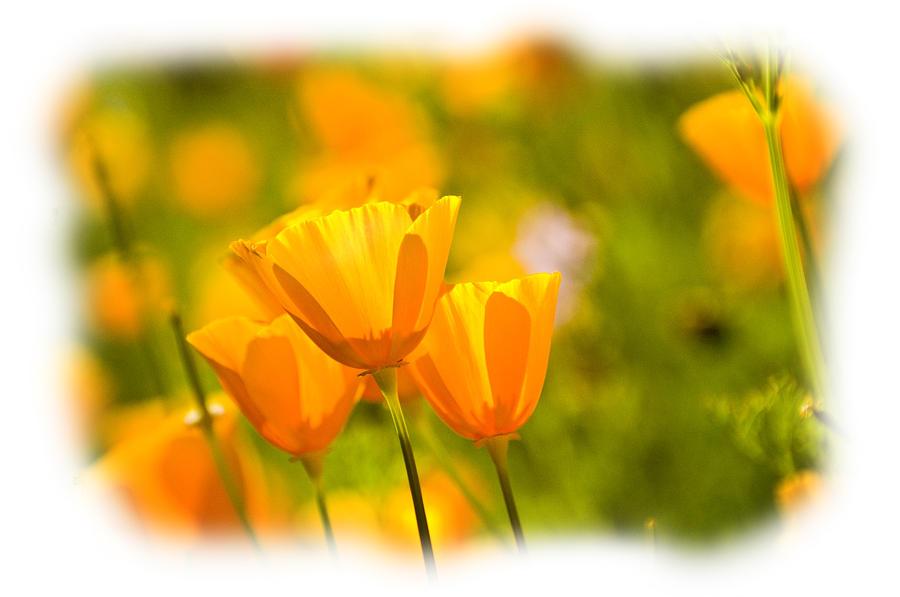 Poppy Photograph - Poppy Gold by Larry Goss