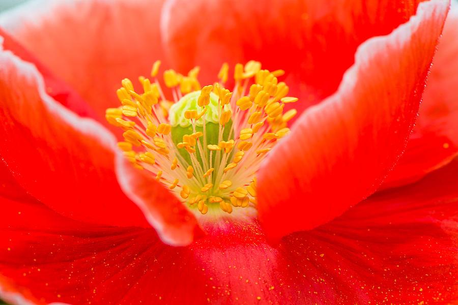 Poppy Photograph - Poppy  by Griffeys Sunshine Photography