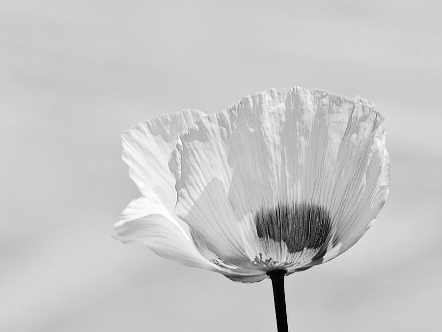Poppy in White by Ludwig Keck