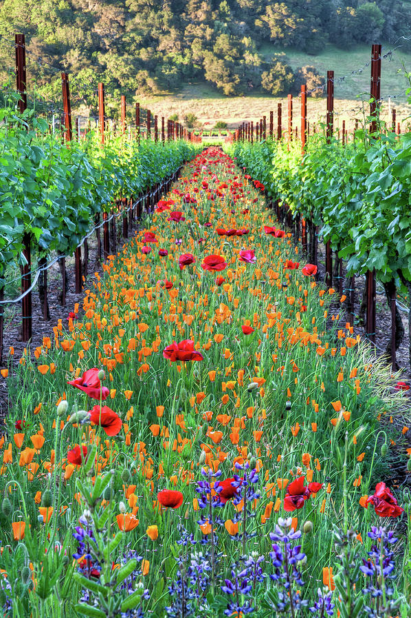 Poppy Lined Vineyard Photograph by Rmb Images / Photography By Robert Bowman
