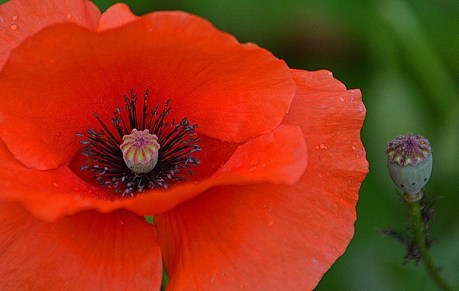 Poppy Photograph - Poppy by Marjorie Tietjen