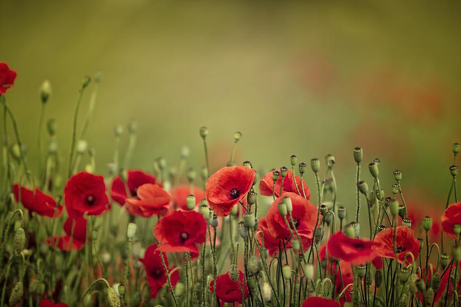 Poppy Meadow Photograph