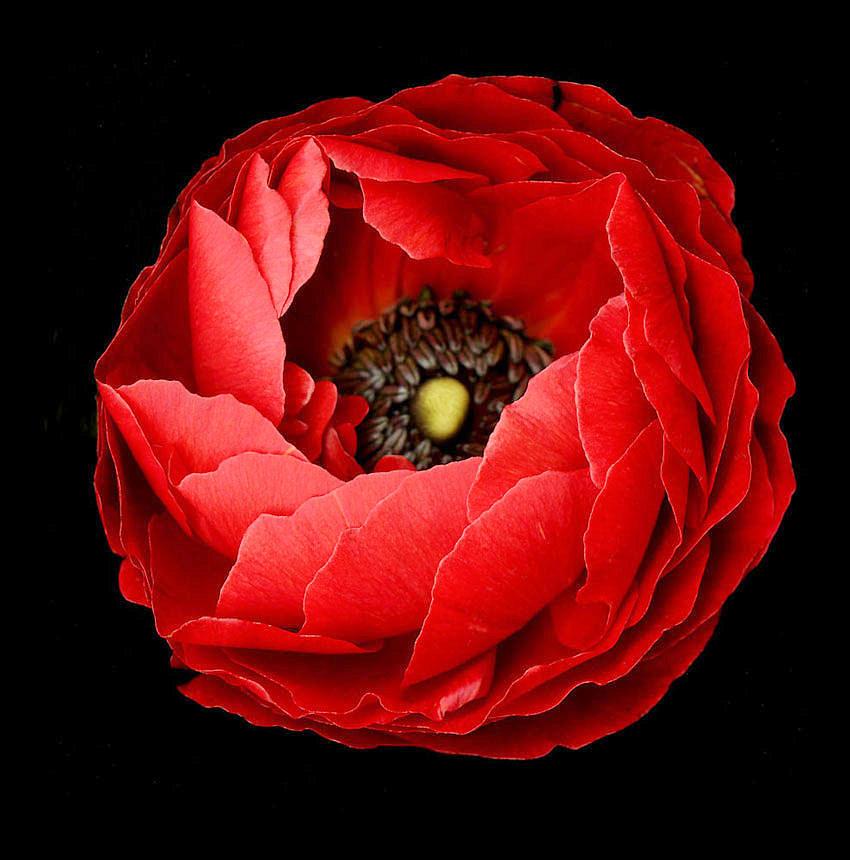 Poppy on Black Background by David Rich