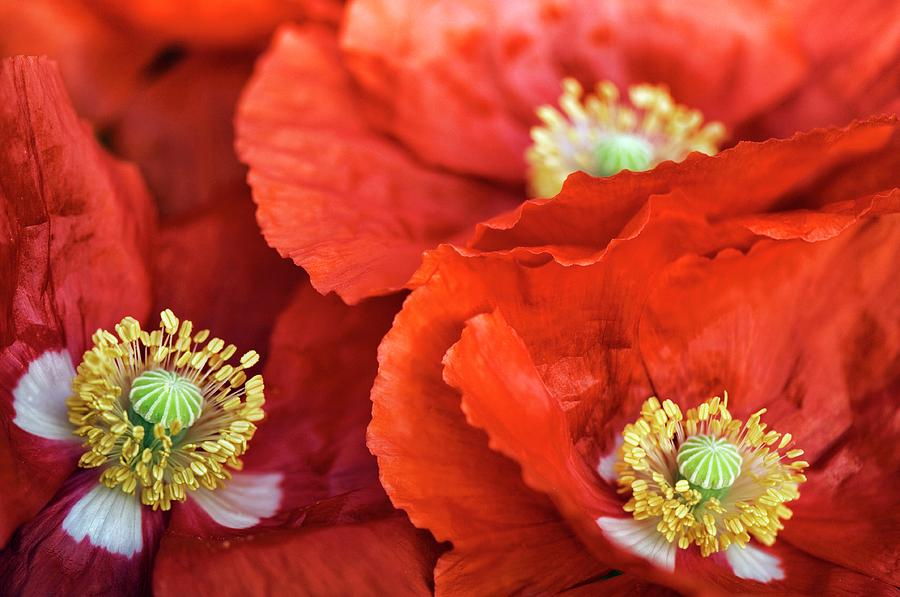 Poppy Photograph - Poppy (papaver Rhoeas) by Maria Mosolova