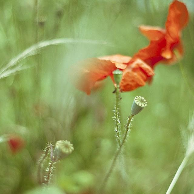 Love Photograph - #poppy #poppies #red #green by Georgia Fowler