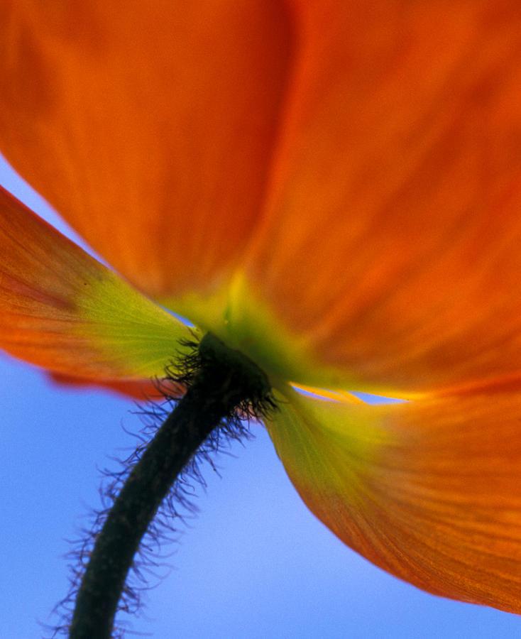 Orange Photograph - Poppy Portrait by Kathy Yates