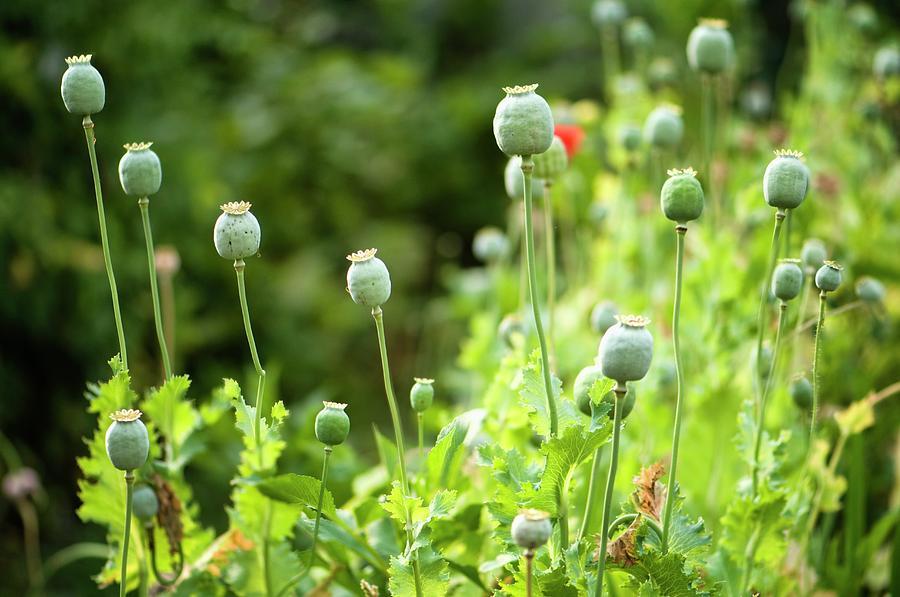 Papaver Somniferum Photograph - Poppy Seedheads by Maria Mosolova