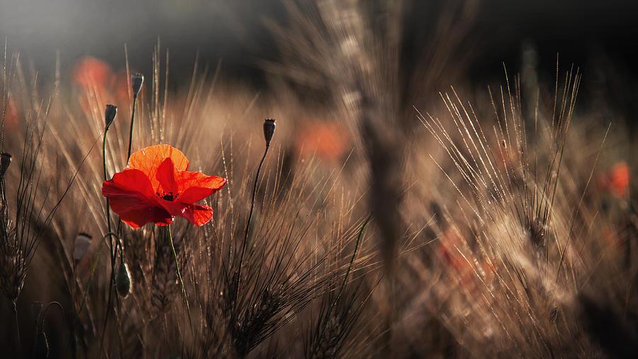 Poppy Photograph - Poppy With Corn by Nicodemo Quaglia