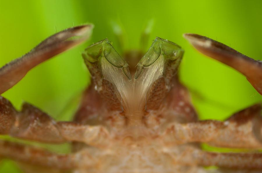 Aquatic Photograph - Porcelain Crab by Science Photo Library