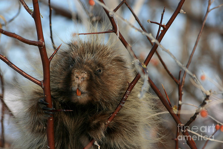 Porcupine Photograph - Porcupine And Berries by Marty Fancy