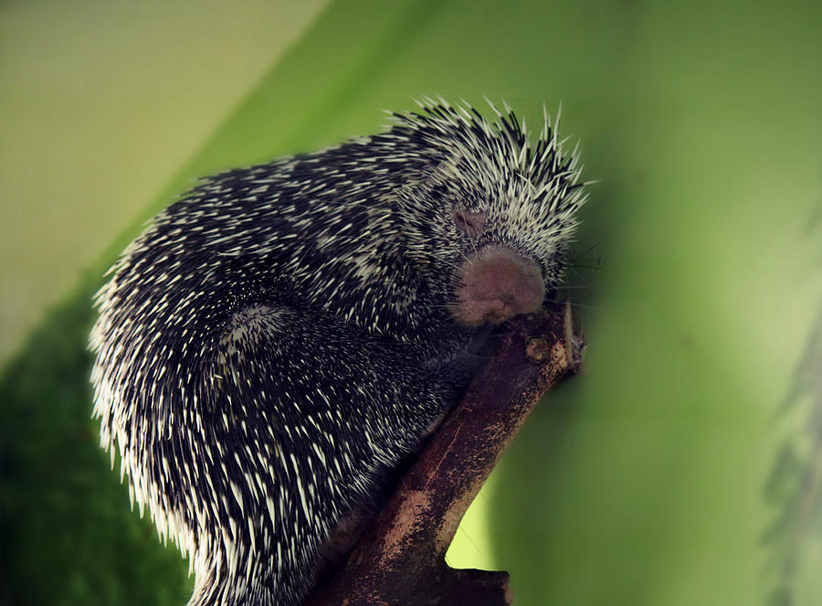 Whiskers Photograph - Porcupine Slumber by Melanie Lankford Photography