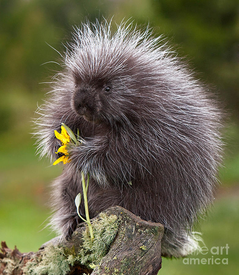 Animal Photograph - Porcupine With Arrowleaf Balsamroot by Jerry Fornarotto
