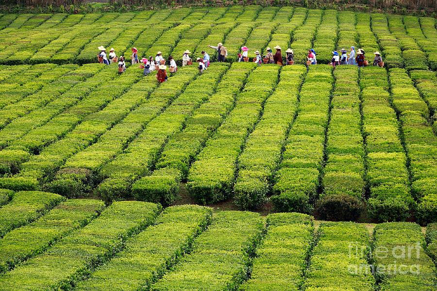 Azores Photograph - Porto Formoso Tea Gardens by Gaspar Avila