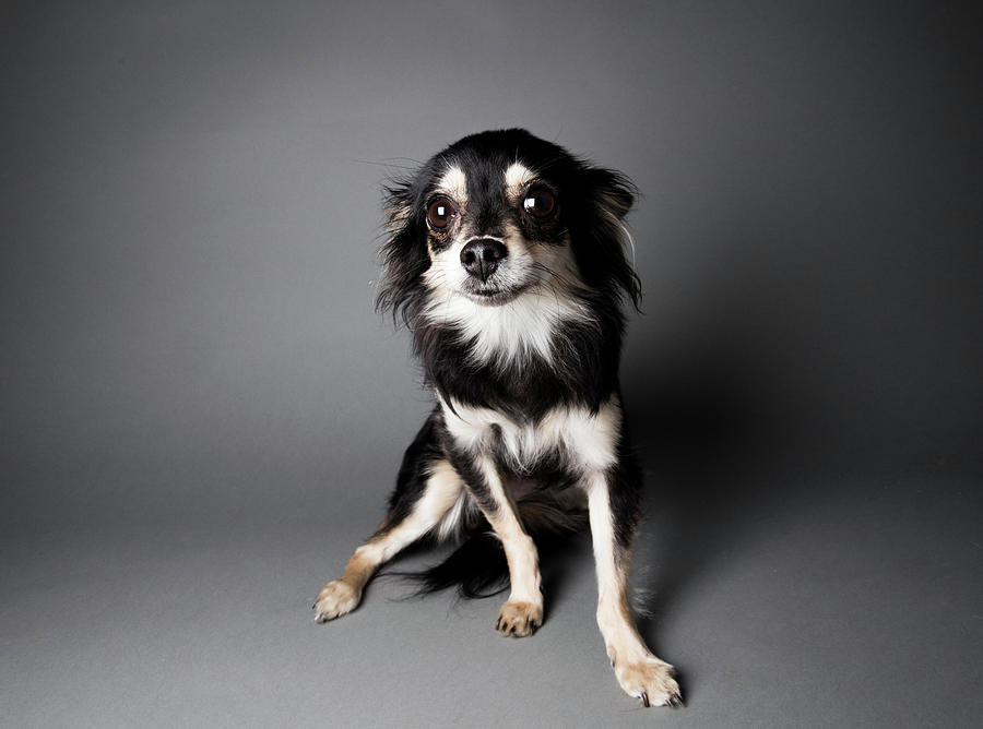 Portrait Of A Chihuahua-papillon Mix - Photograph by Amandafoundation.org