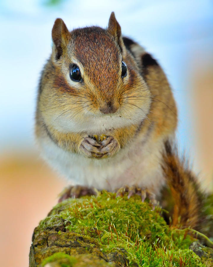 Portrait of a Chipmunk by Dylan Lees