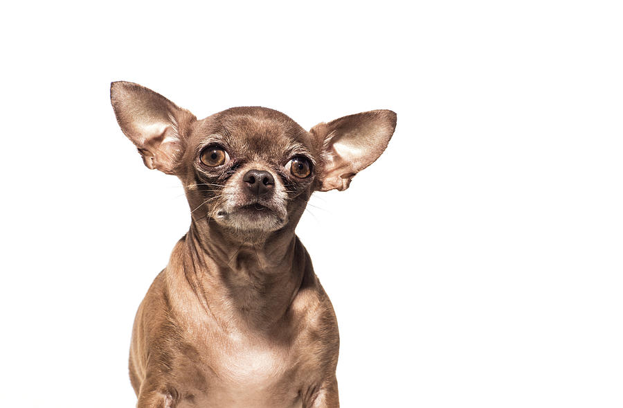 Portrait Of A Chocolate Chihuahua - The Photograph by Amandafoundation.org