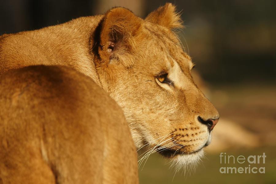 Portrait Photograph - Portrait Of A Dreamy Lioness  by Nick  Biemans