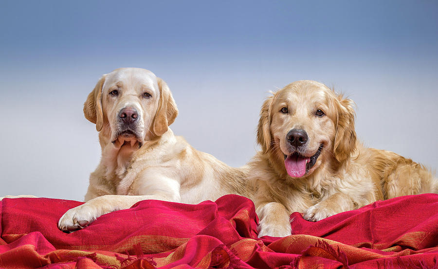 Horizontal Photograph - Portrait Of A Golden Retriever by Animal Images