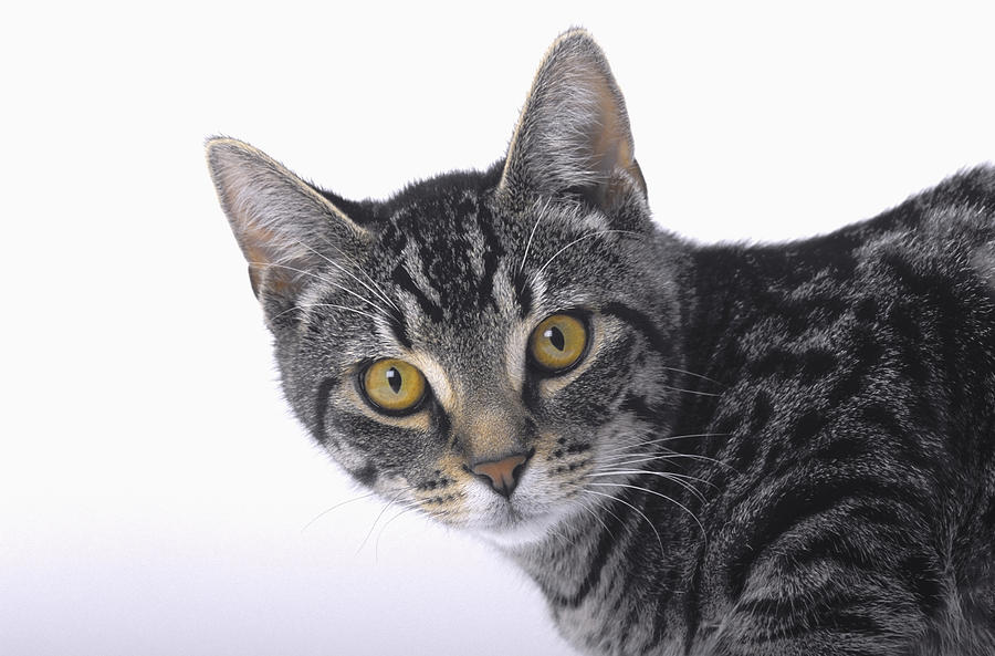 House Pet Photograph - Portrait Of A Grey Tabby Catvancouver by Thomas Kitchin & Victoria Hurst
