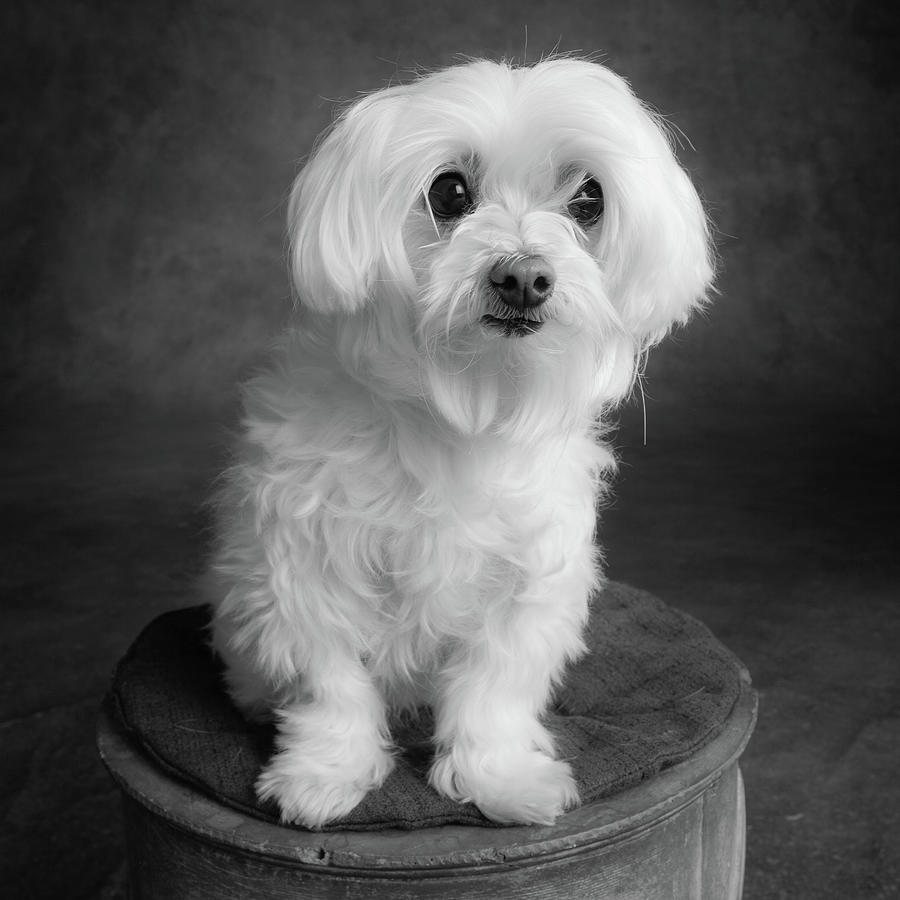Horizontal Photograph - Portrait Of A Maltese Dog by Animal Images
