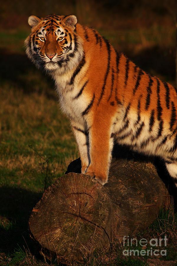 Portrait Of A Siberian Tiger Photograph