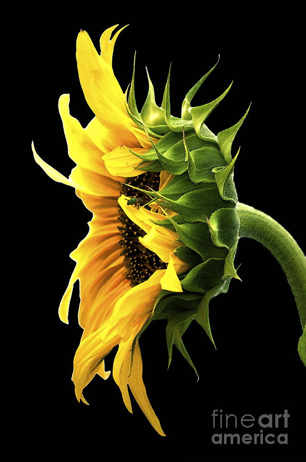 Sunflower Photograph - Portrait Of A Sunflower by Gwyn Newcombe