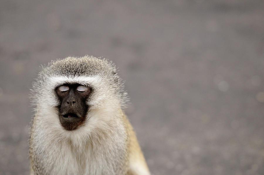 Portrait Of A Vervet Monkey Chlorocebus Photograph by Kerstin Geier