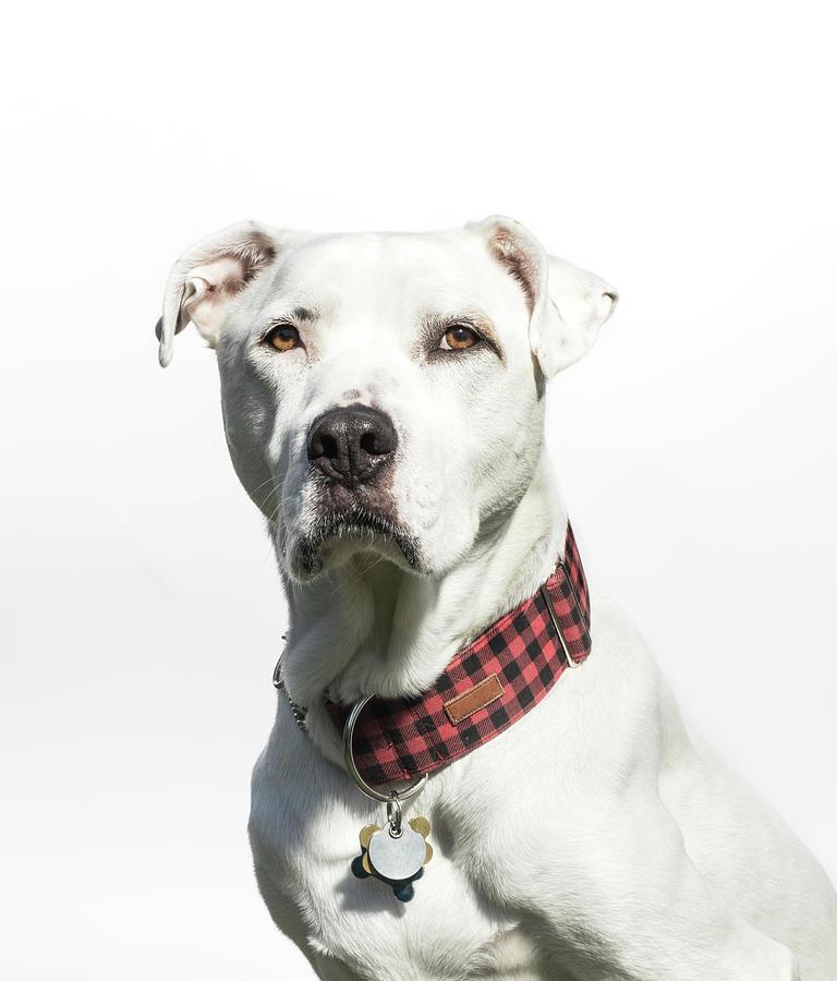 Portrait Of A White American Bulldog Photograph by Amandafoundation.org