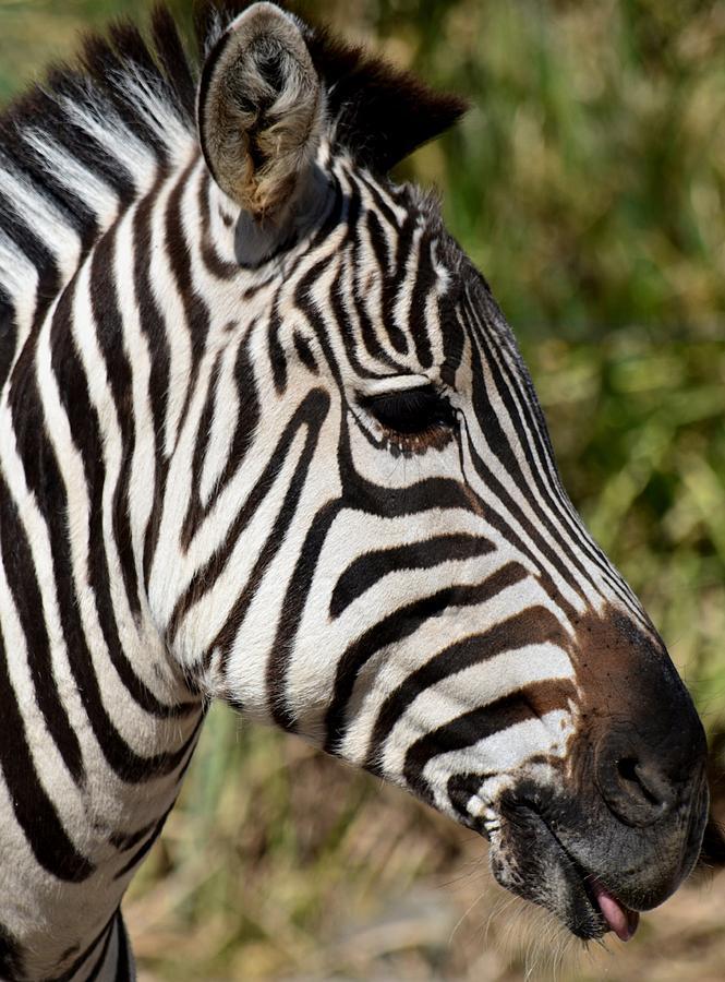 Portrait Of A Zebra Photograph - Portrait Of A Zebra by Maria Urso