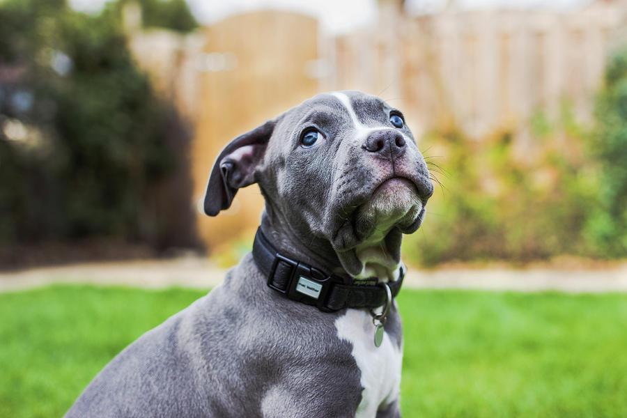 Portrait Of An American Bulldog Puppy Photograph by Veravanoudheusden