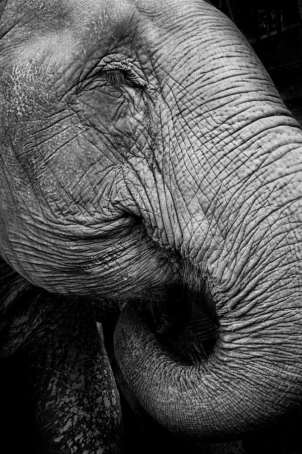 Portrait Of An Elephant Photograph by Www.neilblakely.com