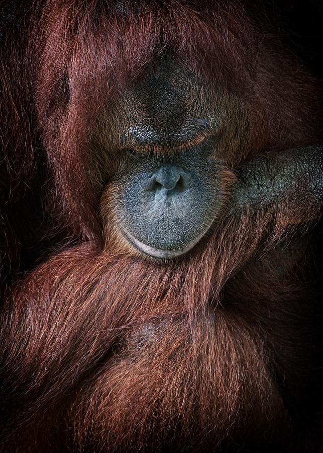 Primate Photograph - Portrait Of An Orangutan by Zoe Ferrie