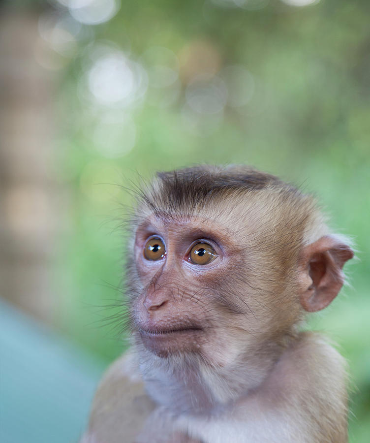 Portrait Of Attentive Young Macaque Photograph by Derek E. Rothchild