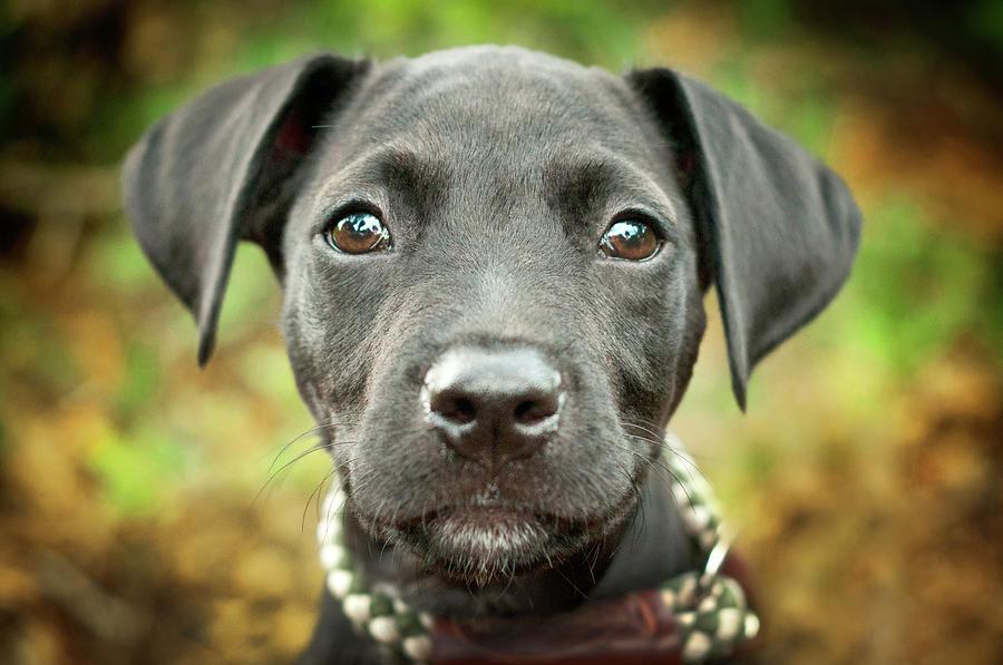 Portrait Of Black Lab Puppy Photograph by Hillary Kladke