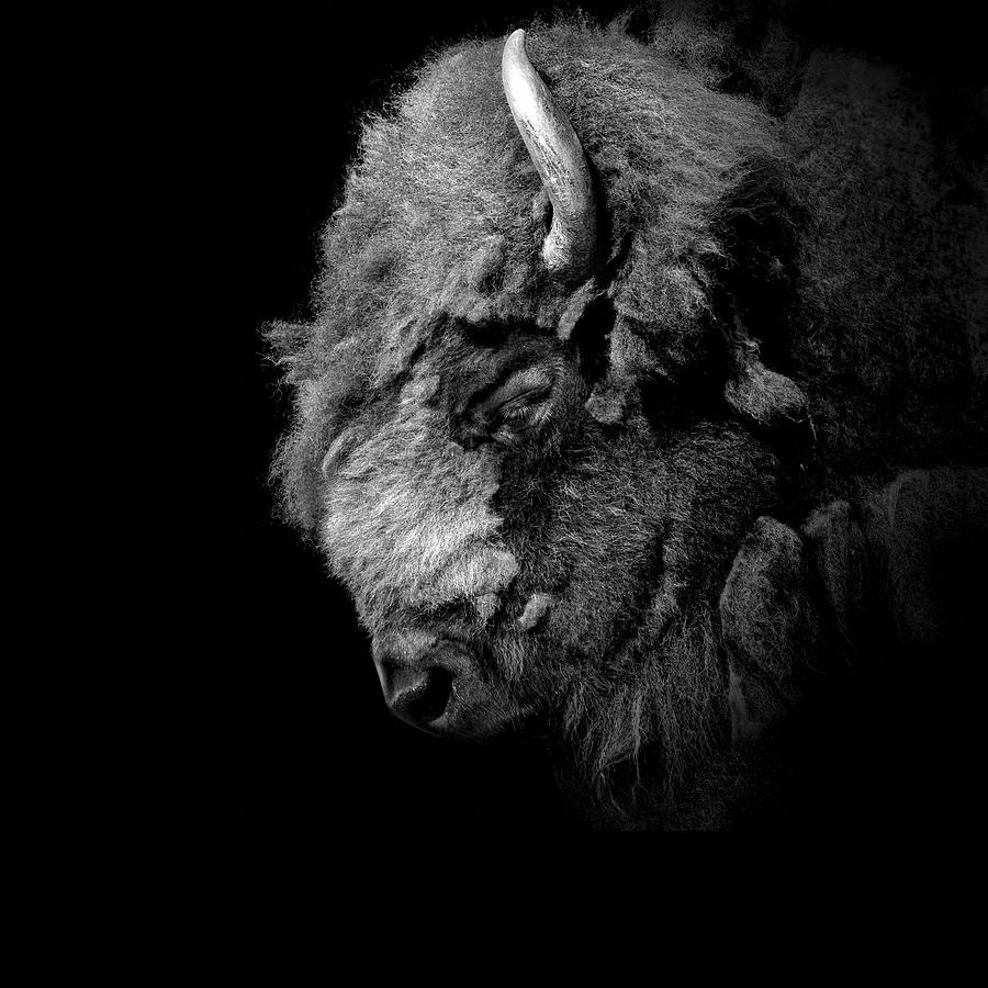 Buffalo Photograph - Portrait of Buffalo in black and white by Lukas Holas