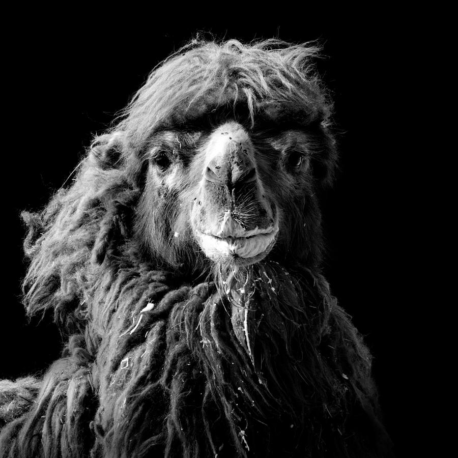 Camel Photograph - Portrait Of Camel In Black And White by Lukas Holas