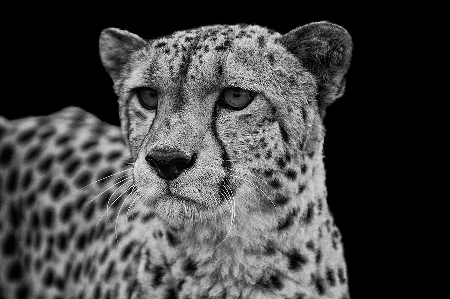 2019 year style- Photography cheetah black and white