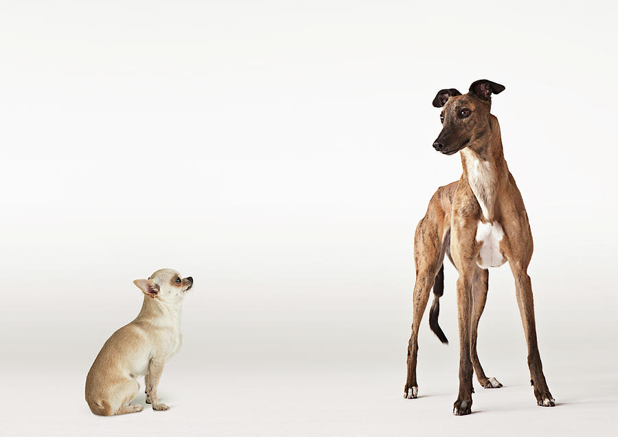 Portrait Of Chihuahua And Greyhound Photograph by Compassionate Eye Foundation/david Leahy