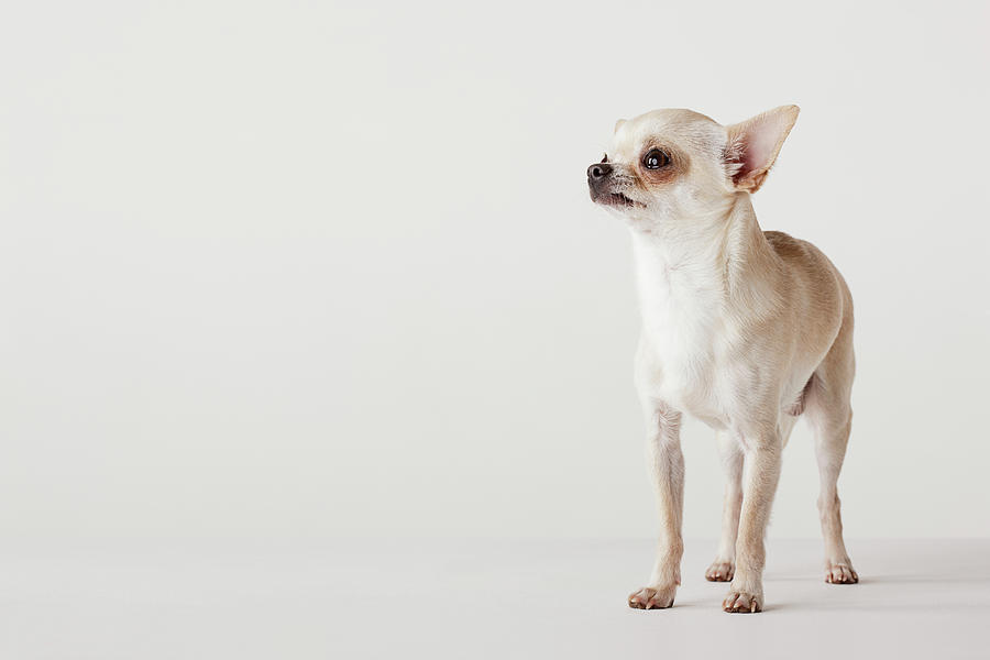 Portrait Of Chihuahua Standing Photograph by Compassionate Eye Foundation/david Leahy