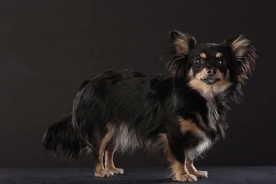 Portrait Of Chihuahua Standing, Side Photograph by Compassionate Eye Foundation/david Leahy