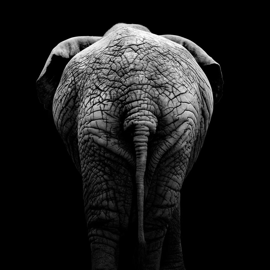 Elephant Photograph - Portrait Of Elephant In Black And White II by Lukas Holas