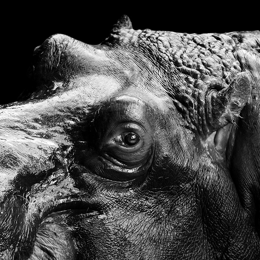 Hippo Photograph - Portrait Of Hippo In Black And White by Lukas Holas