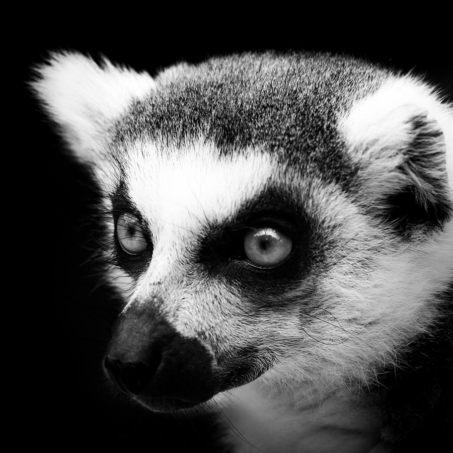 Lemur Photograph - Portrait of Lemur in black and white by Lukas Holas